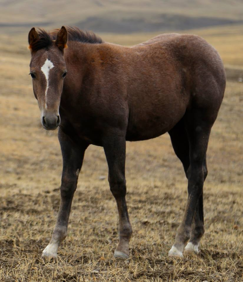 2017 Gray Filly. This little gal is a GREAT prospect! She is as solid as they come. Good bone, straight legs and thick all the way through! I really enjoy working with her… she has a good mind, and is a curious and quick learner. She is going to make a phenomenal little cowhorse, but has the potential to go any direction. Well-bred and well-built! $1200
