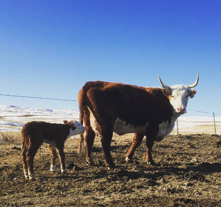 FIRST CALF OF 2018 ON THE LONETREE