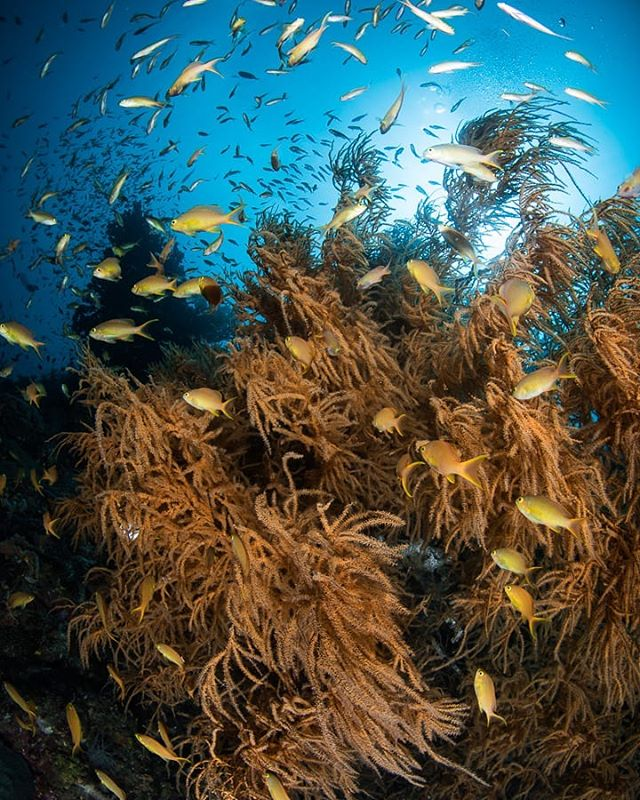 Anthias swarming in the currents In South Leyte. They use structures on the reef such as this black coral bush  for protection when marauding predator fish attack. When the coast is clear the small fish rise back in to the water column to feed.