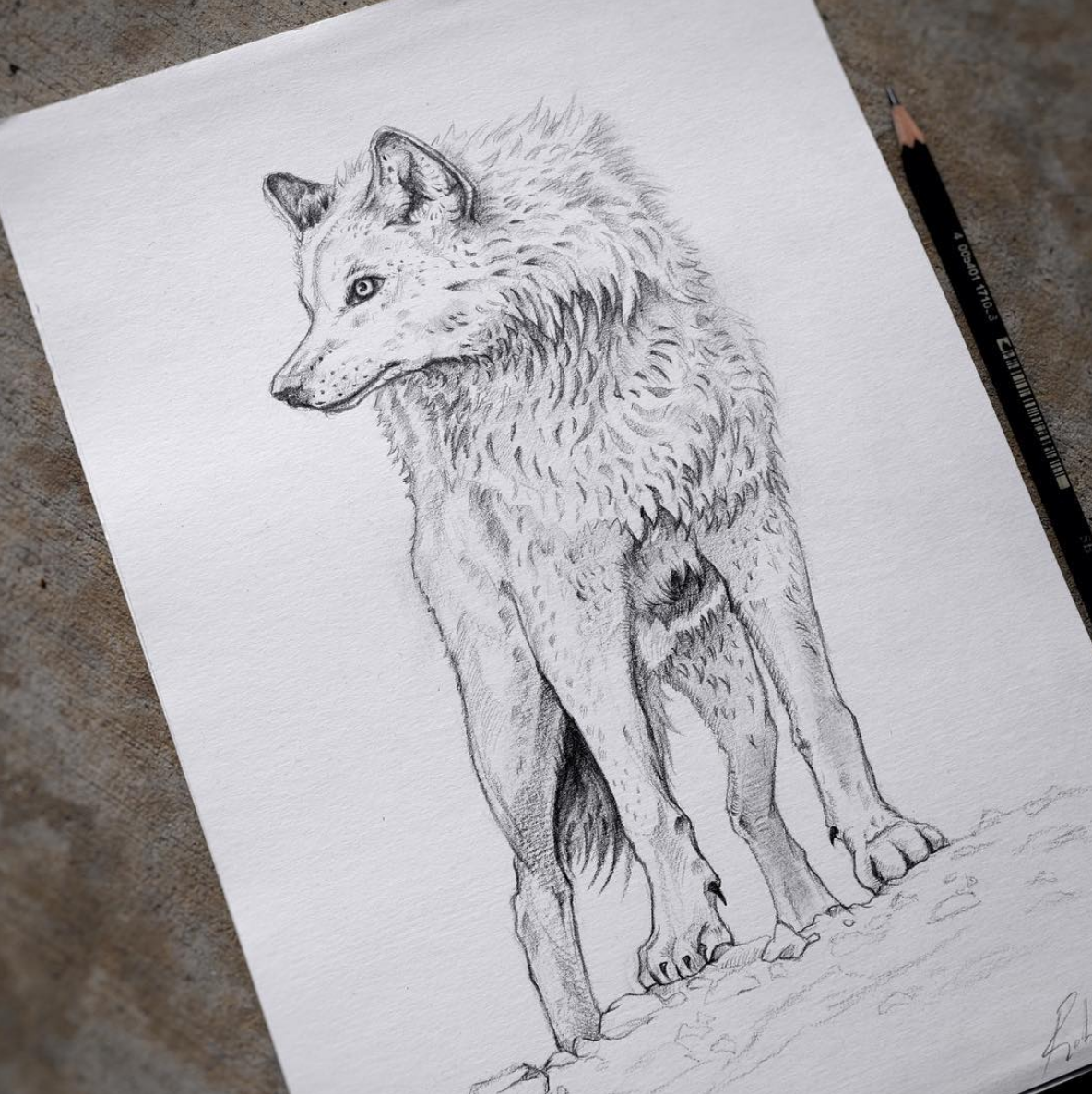 Above image; 'Call of The Wolf' - My pencil drawing on paper.