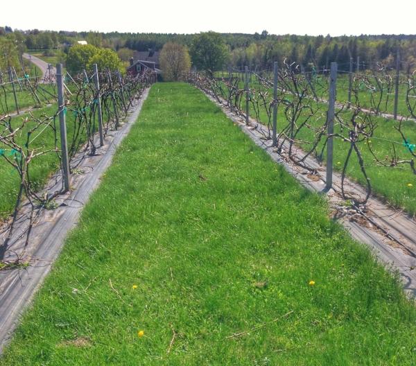 Younity's vineyard