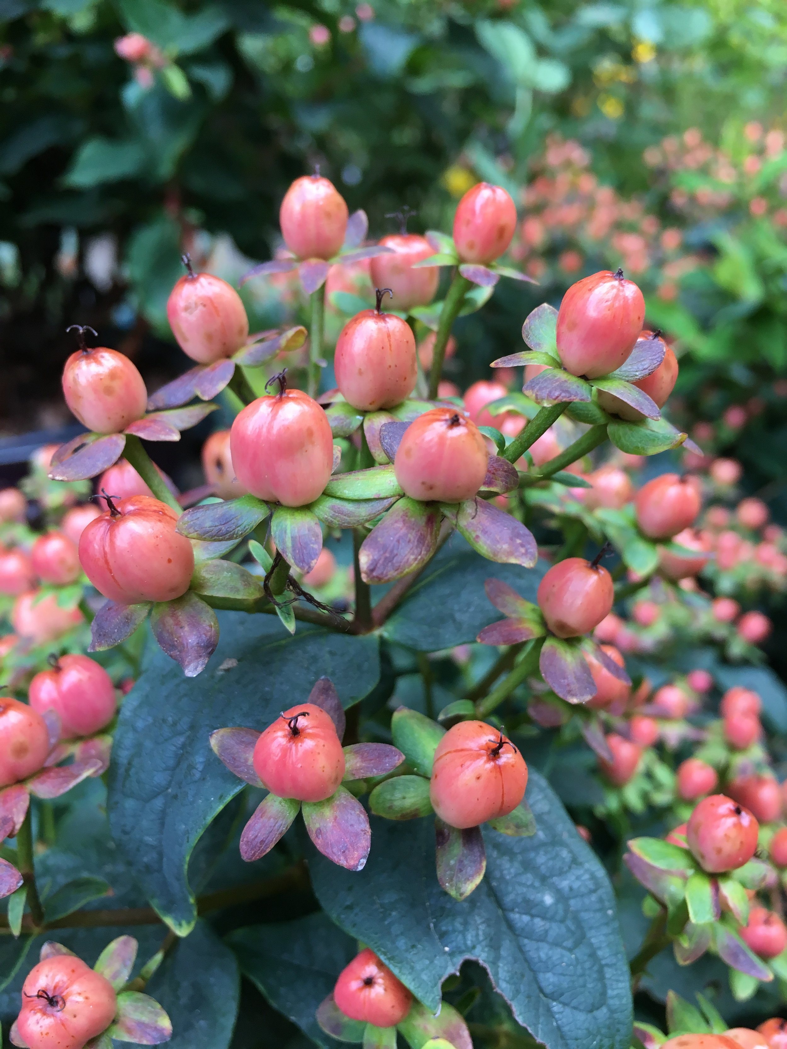 "Another shrub, ""RedStar"" Hypericum"