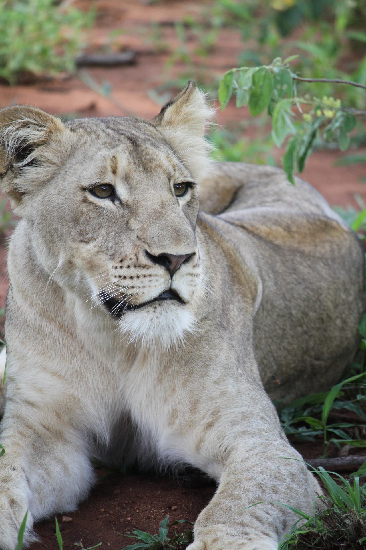 white lion grey.jpg