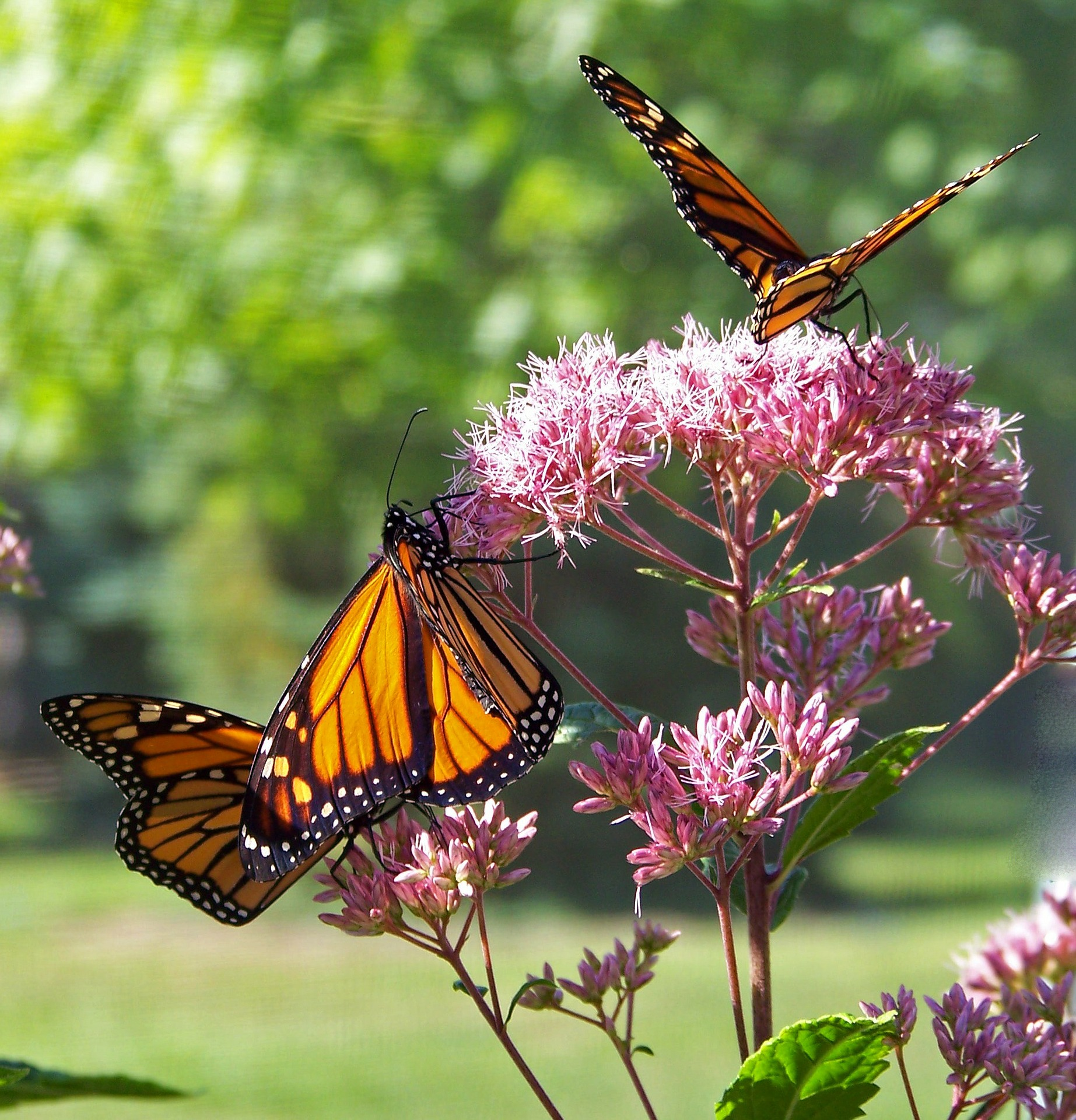 Monarch Butterflies Tonglen Therapy Presentations.jpg