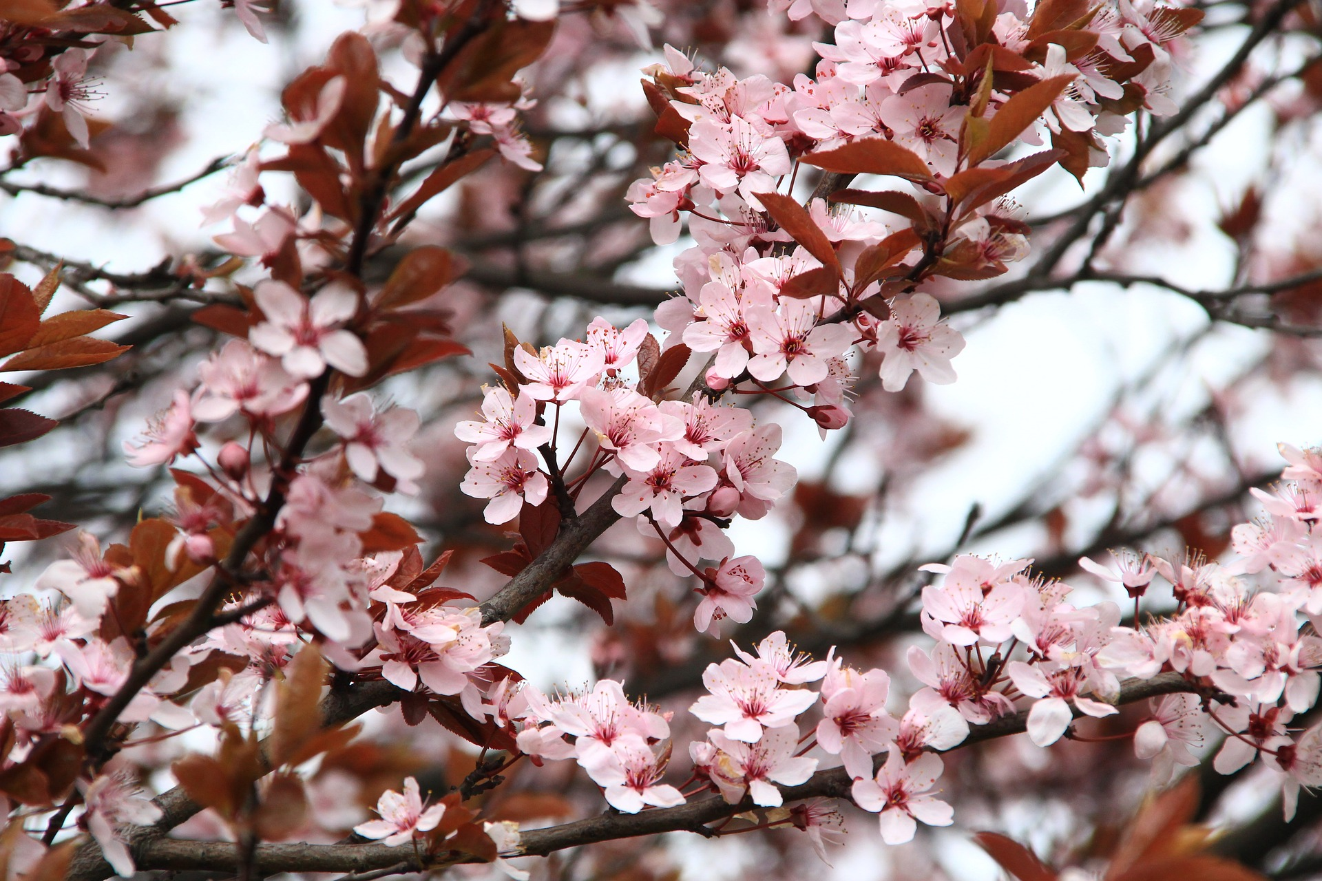 cherry blossom Tonglen therapy groups.jpg