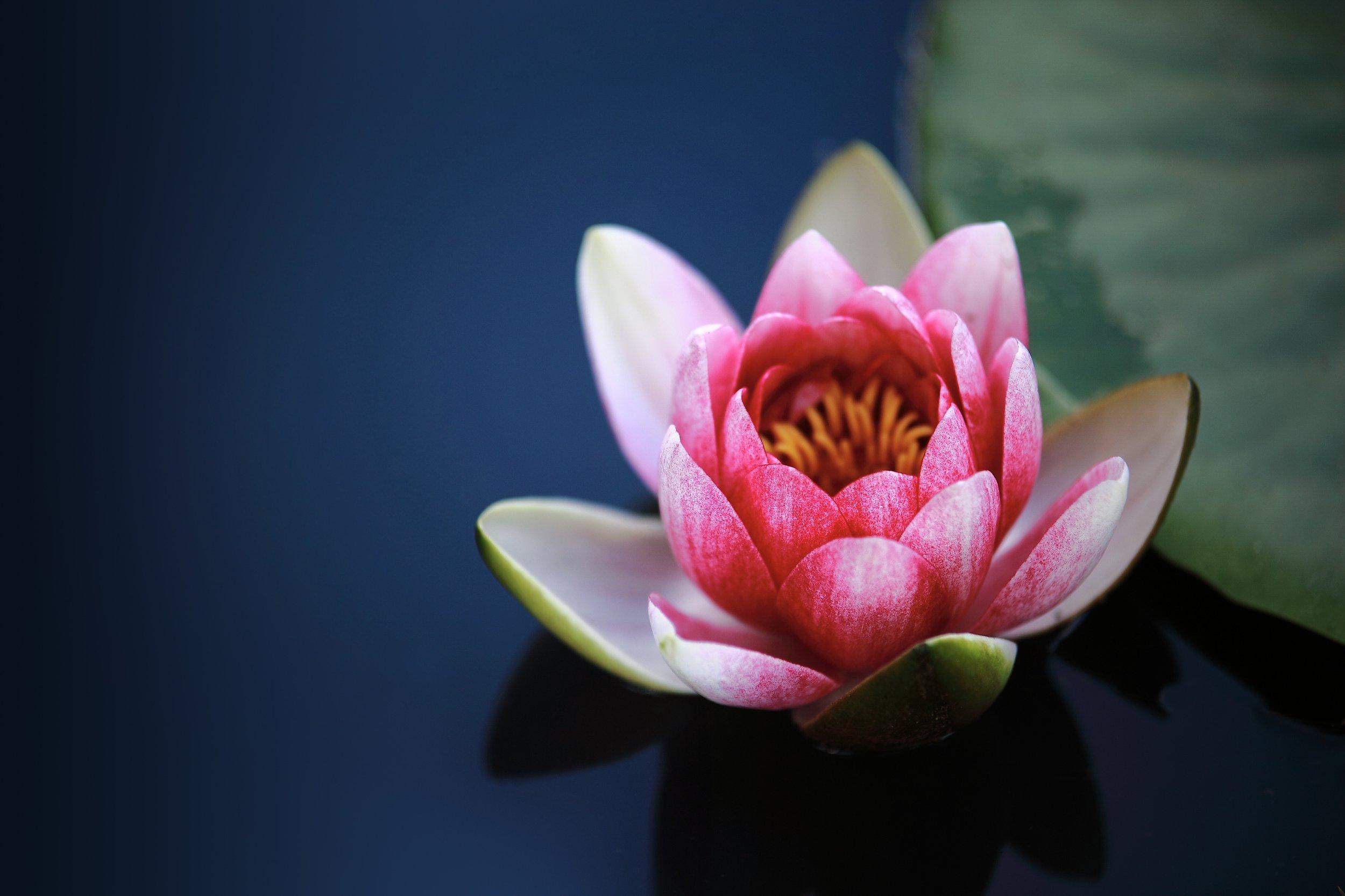Lotus lily.jpg