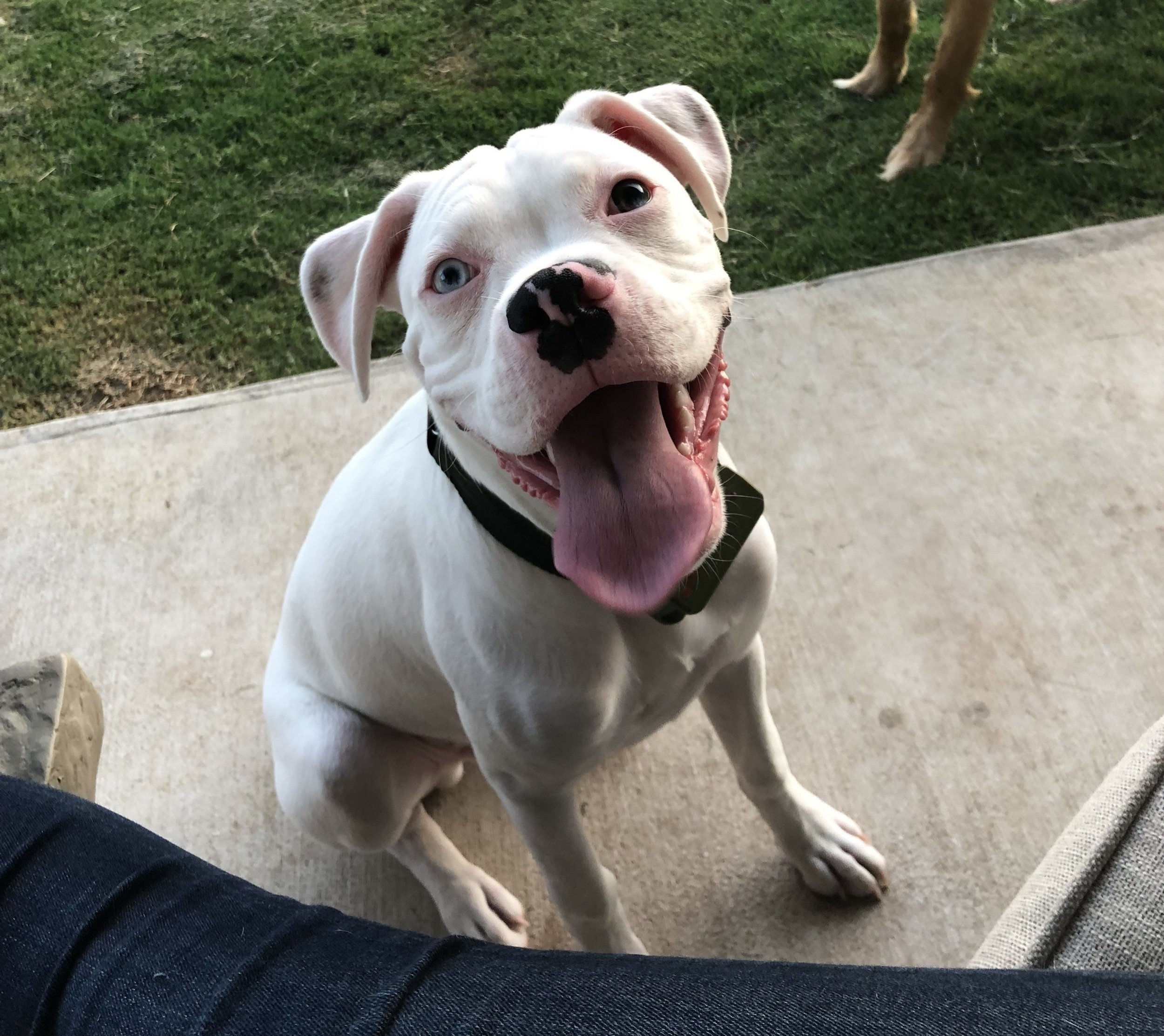 Castiel, or Cas as we call him, is Harvey's little brother. He is deaf, but he doesn't seem to notice, and we can certainly hear him! He barks and squeals at his toys, but looks at us funny when we dance to music. He's a sweetheart.