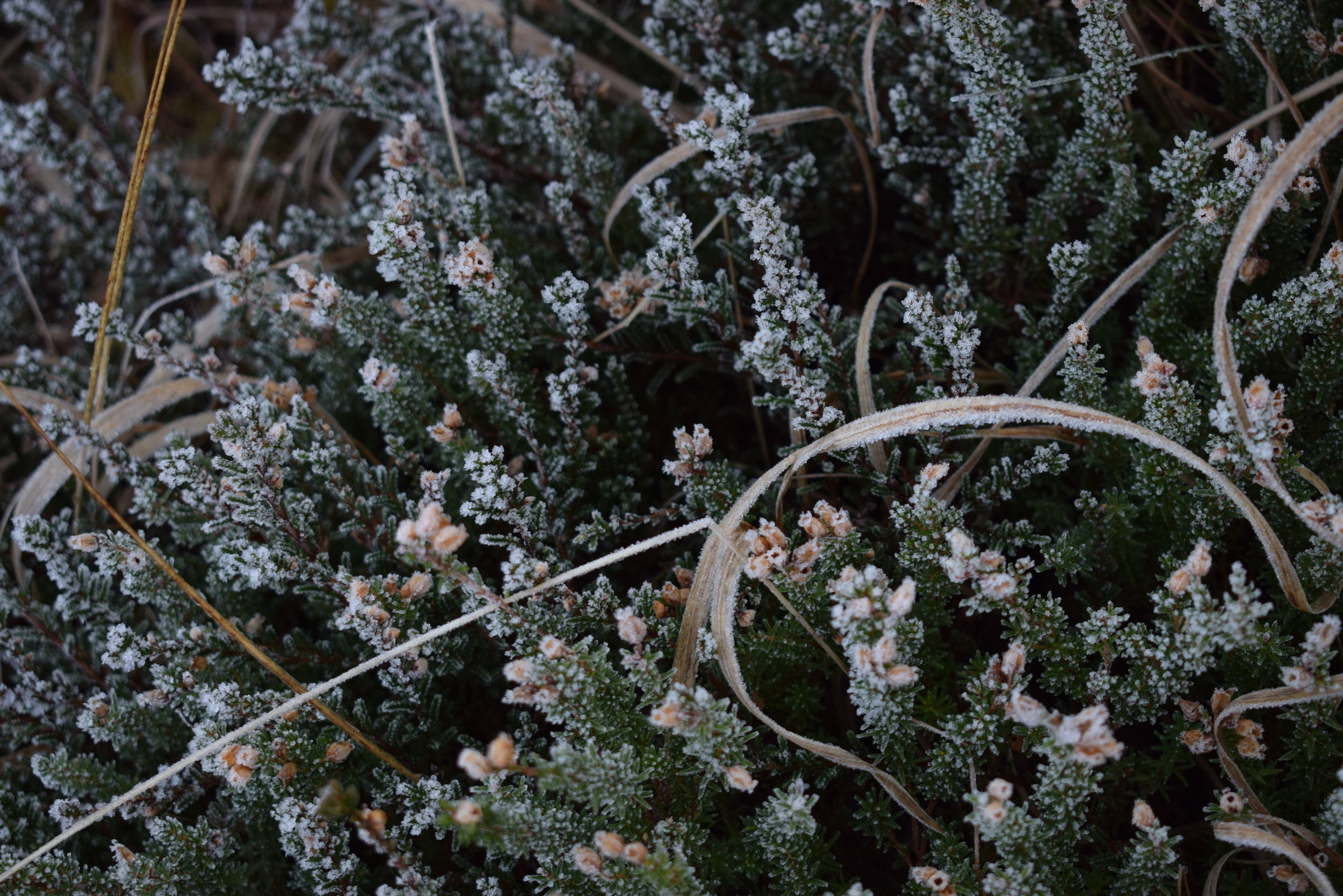frosted heather.JPG