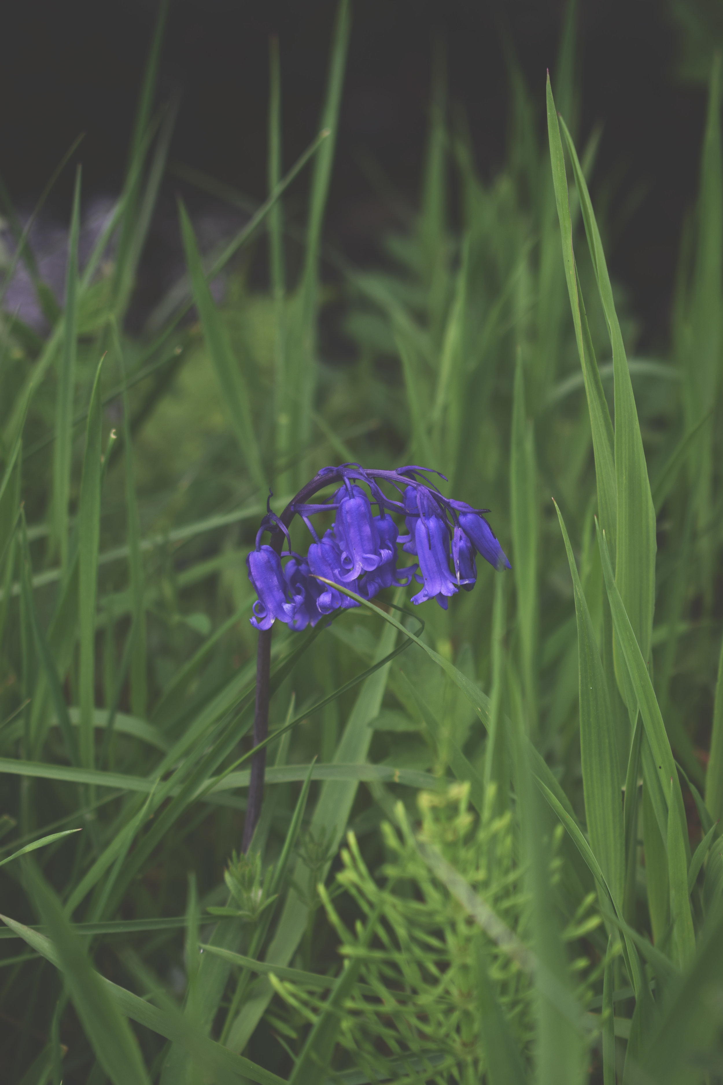 bluebell.jpg
