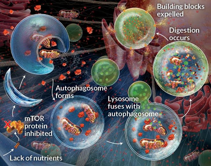 autophagosome pic