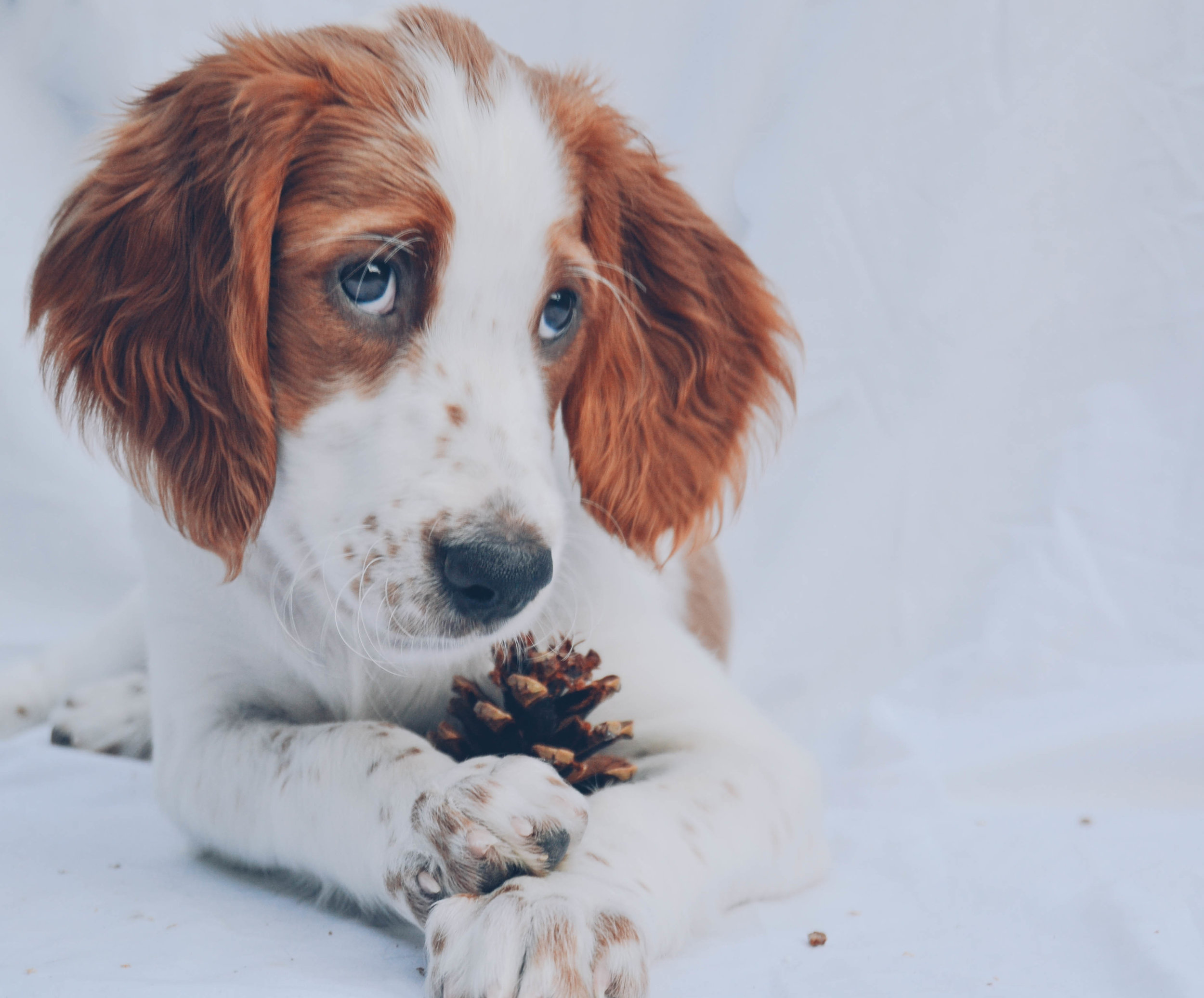 purebred-dogs-irish-setter