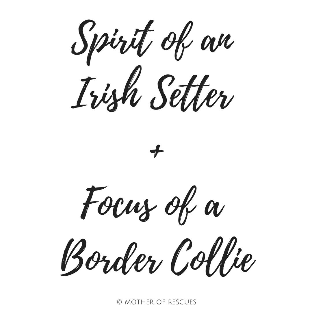 irish-setter-border-collie