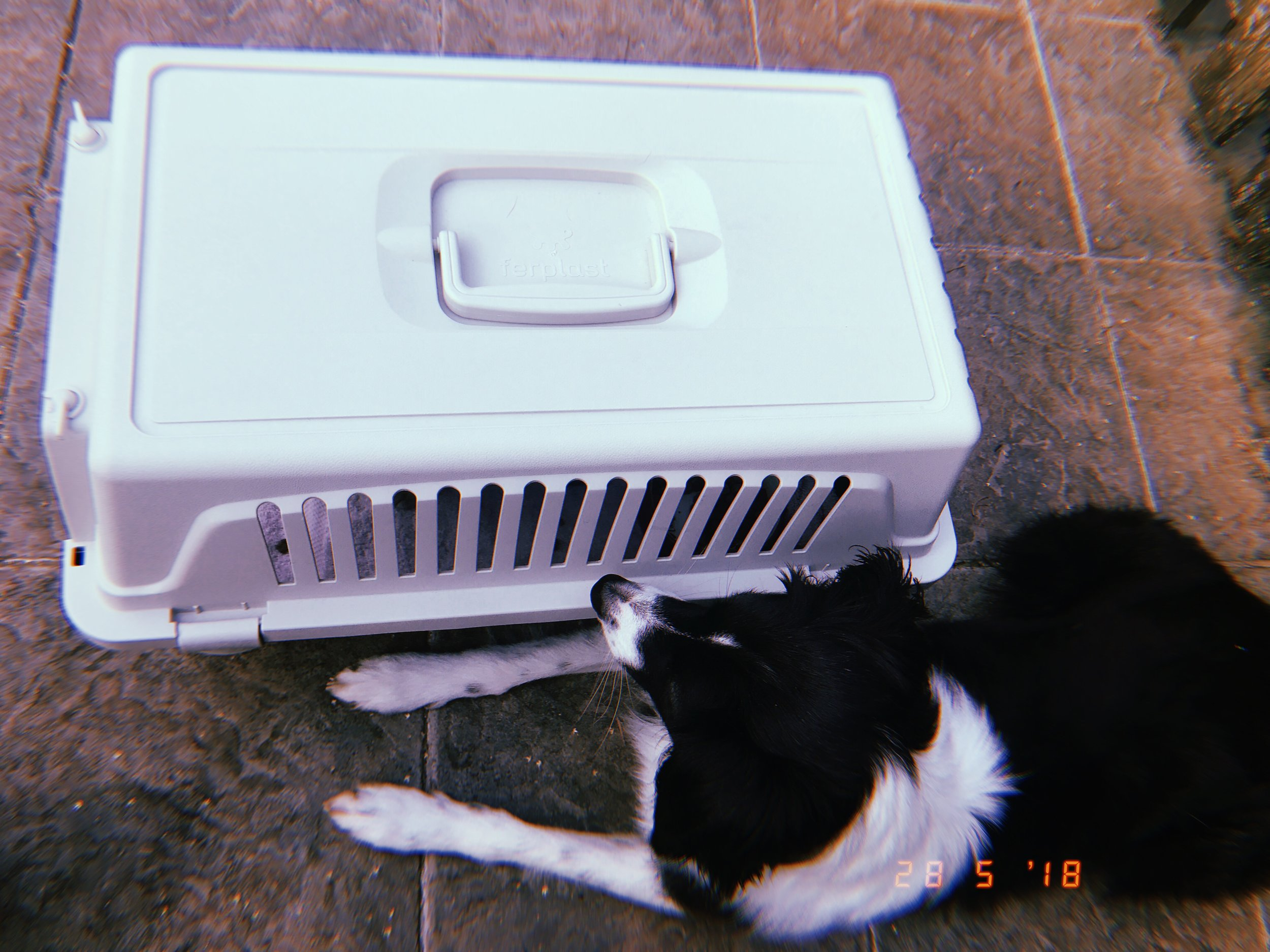 border collie and a cat carrier .JPG