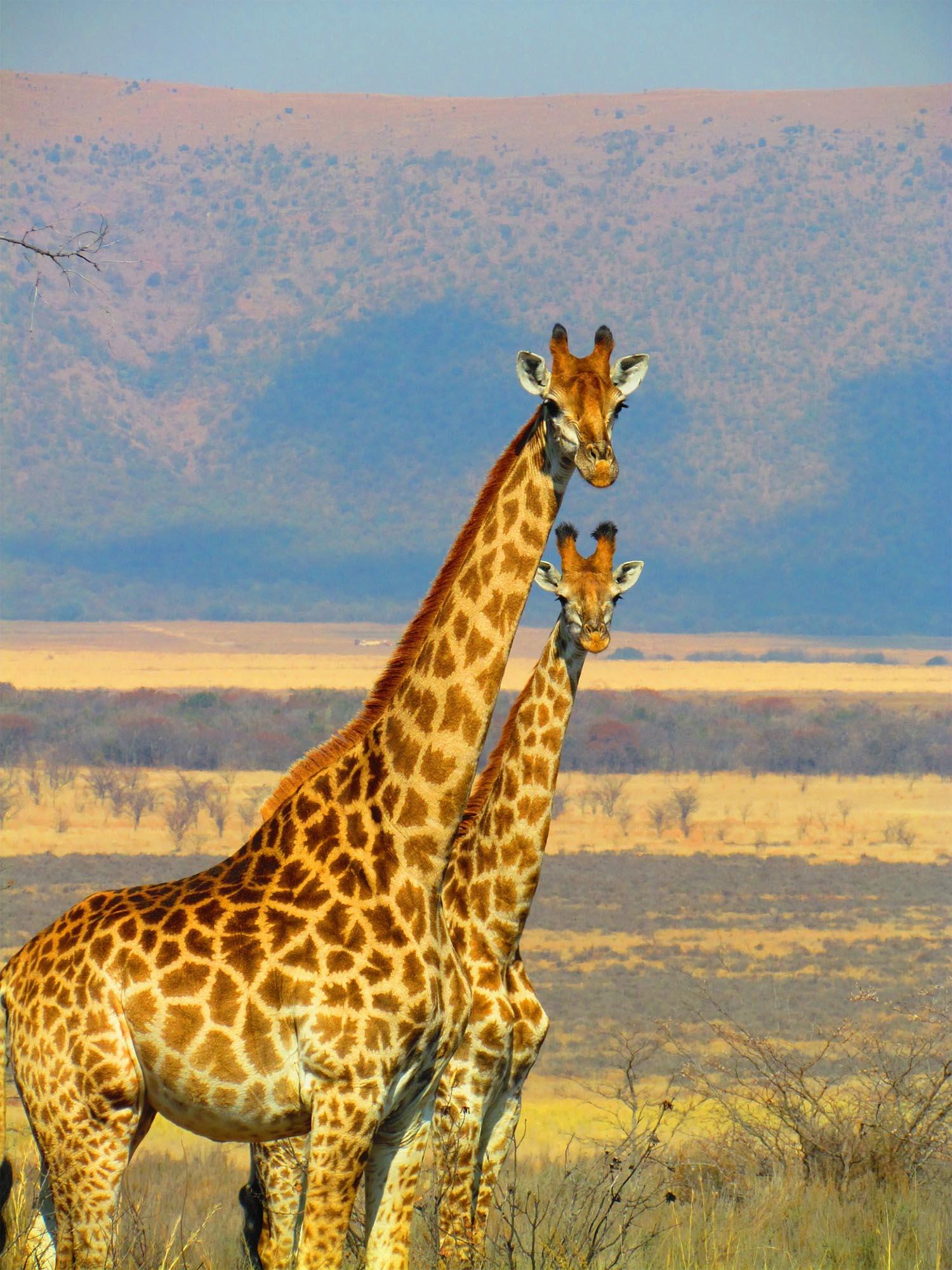 giraffes-382399_1920-sm.jpg