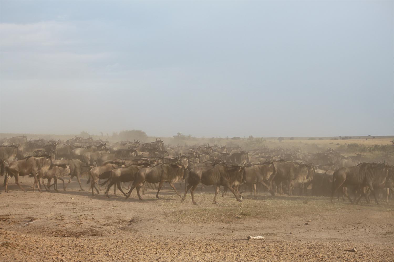 wildebeest-migration-2322113_1920-sm.jpg
