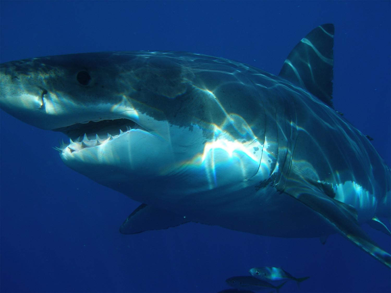 great-white-shark-398276_1920-sm.jpg