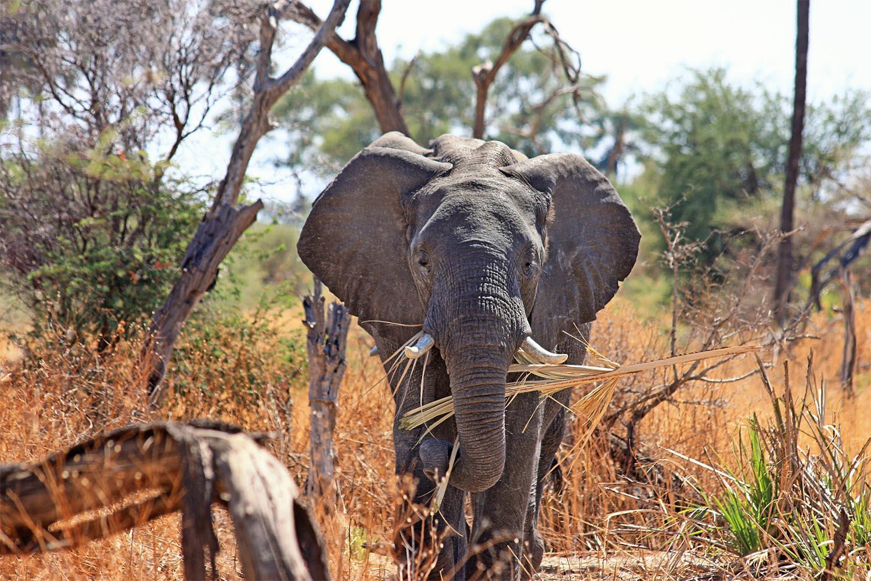 African Elephane