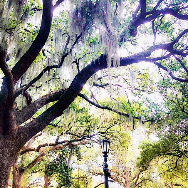 Folklore says that Spanish moss is Blackbeard's beard that got caught in the oak trees as he was trying to escape. However it got there, it's always lovely to see when exploring Savannah. #minavacation #savannahgeorgia #travelfamily #southerntravels #visitsavannah #trees