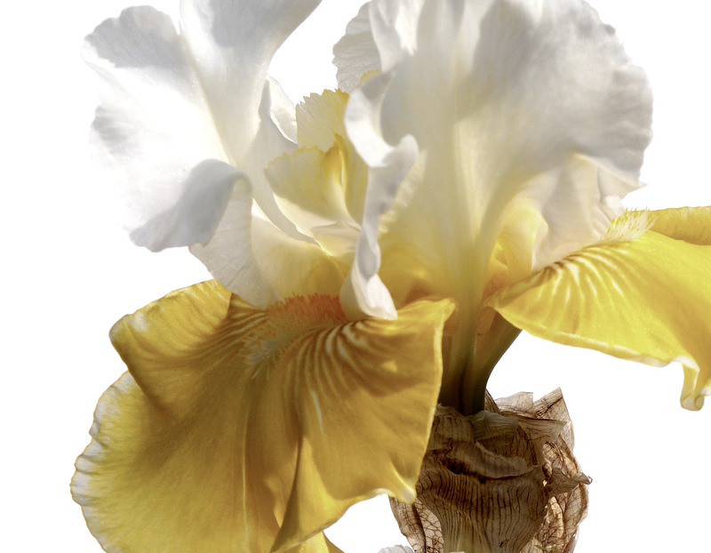 glen_johnston_photography_iris_2.jpg