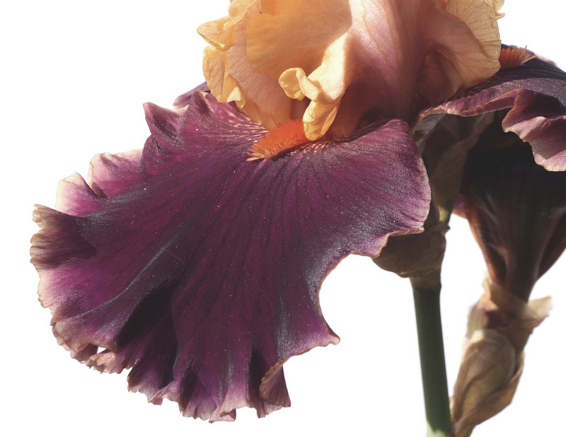 glen_johnston_photography_iris_4.JPG