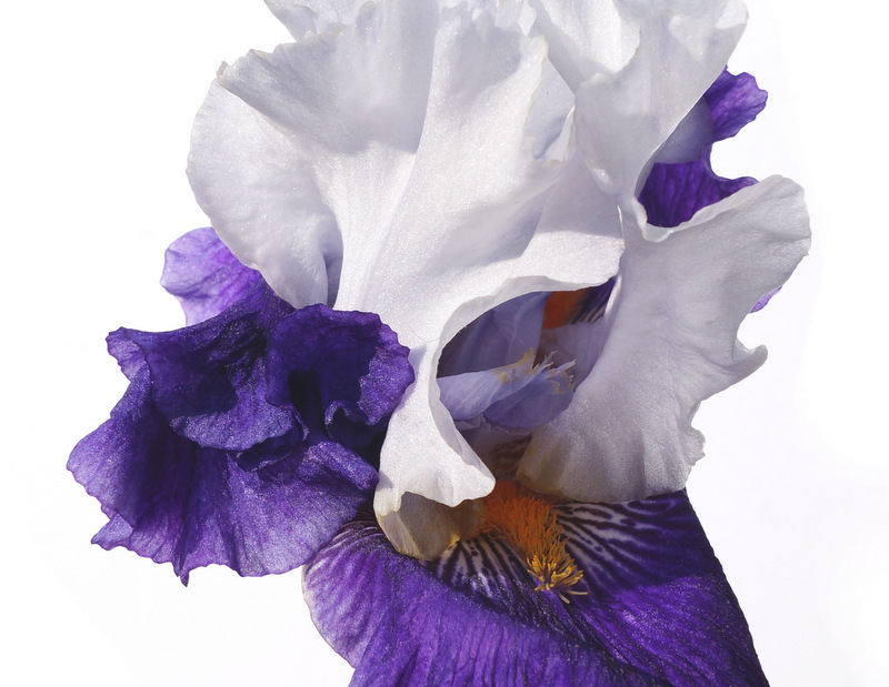 glen_johnston_photography_iris_3.jpg