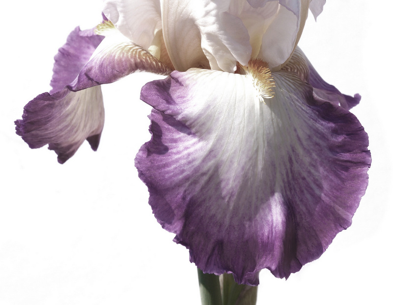 glen_johnston_photography_iris_7.jpg
