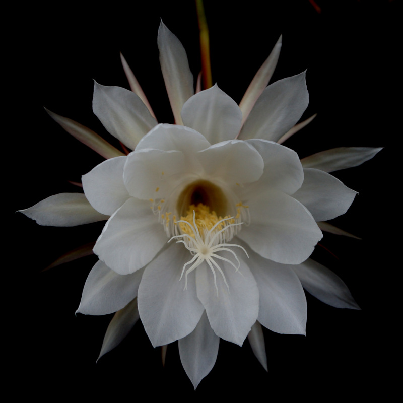 glen_johnston_photography_cereus_1.jpg