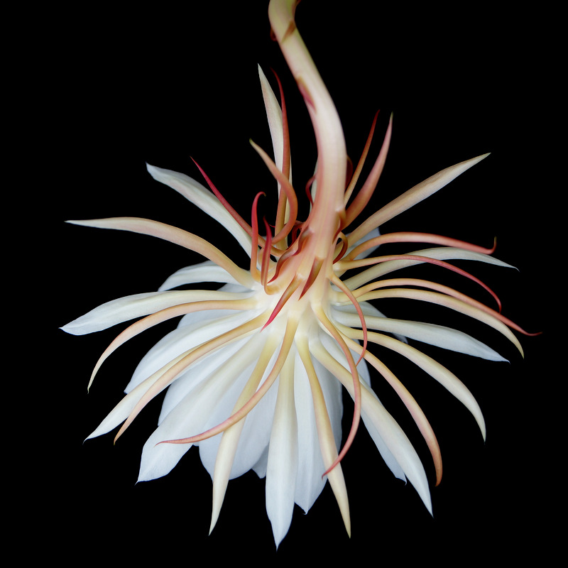 glen_johnston_photography_cereus_7.jpg