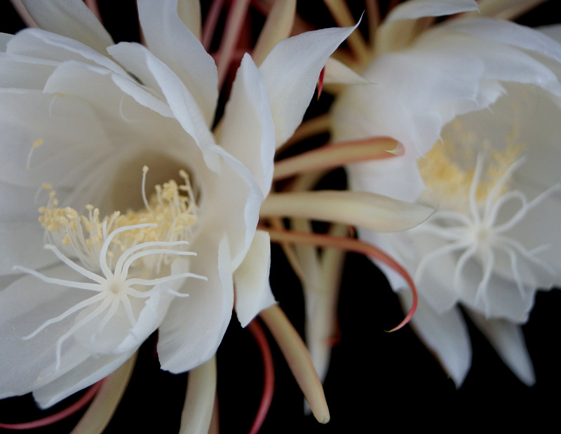 glen_johnston_photography_cereus_17.jpg