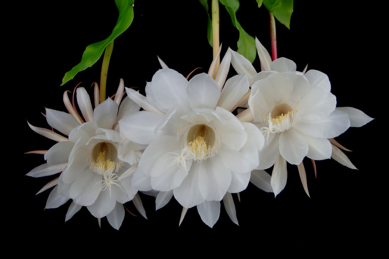 glen_johnston_photography_cereus_19.JPG
