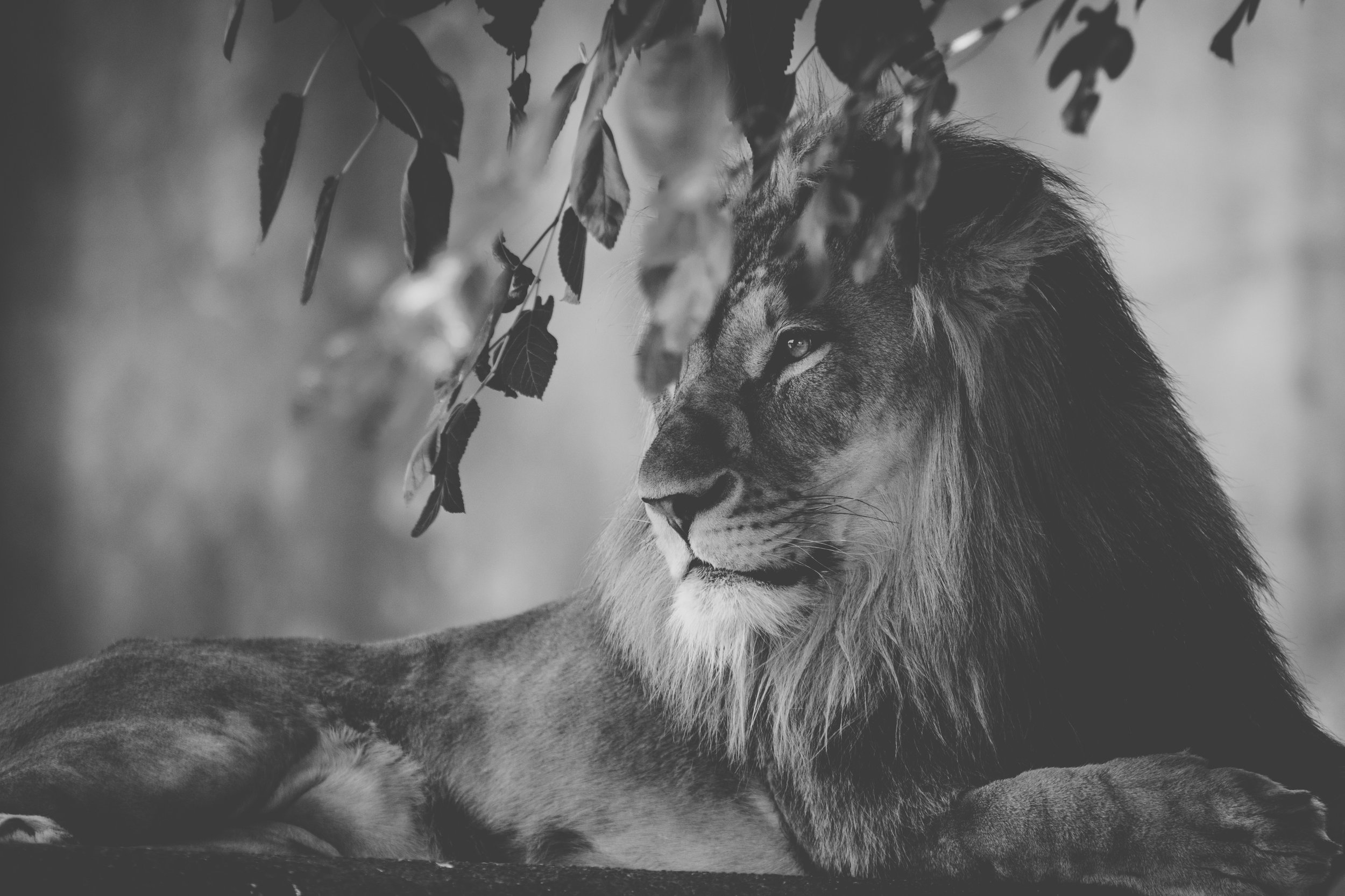 My Lion Story - For those who are in Christ, we should always have a