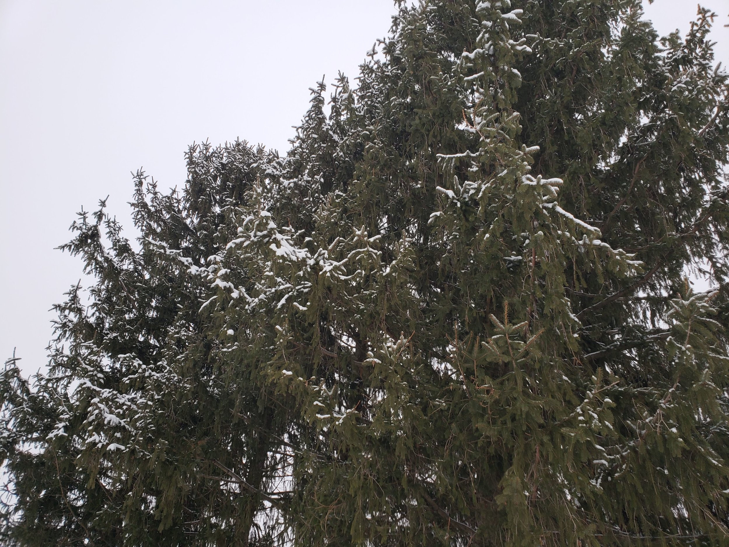 Pine trees in the snow. Future sunset garden?