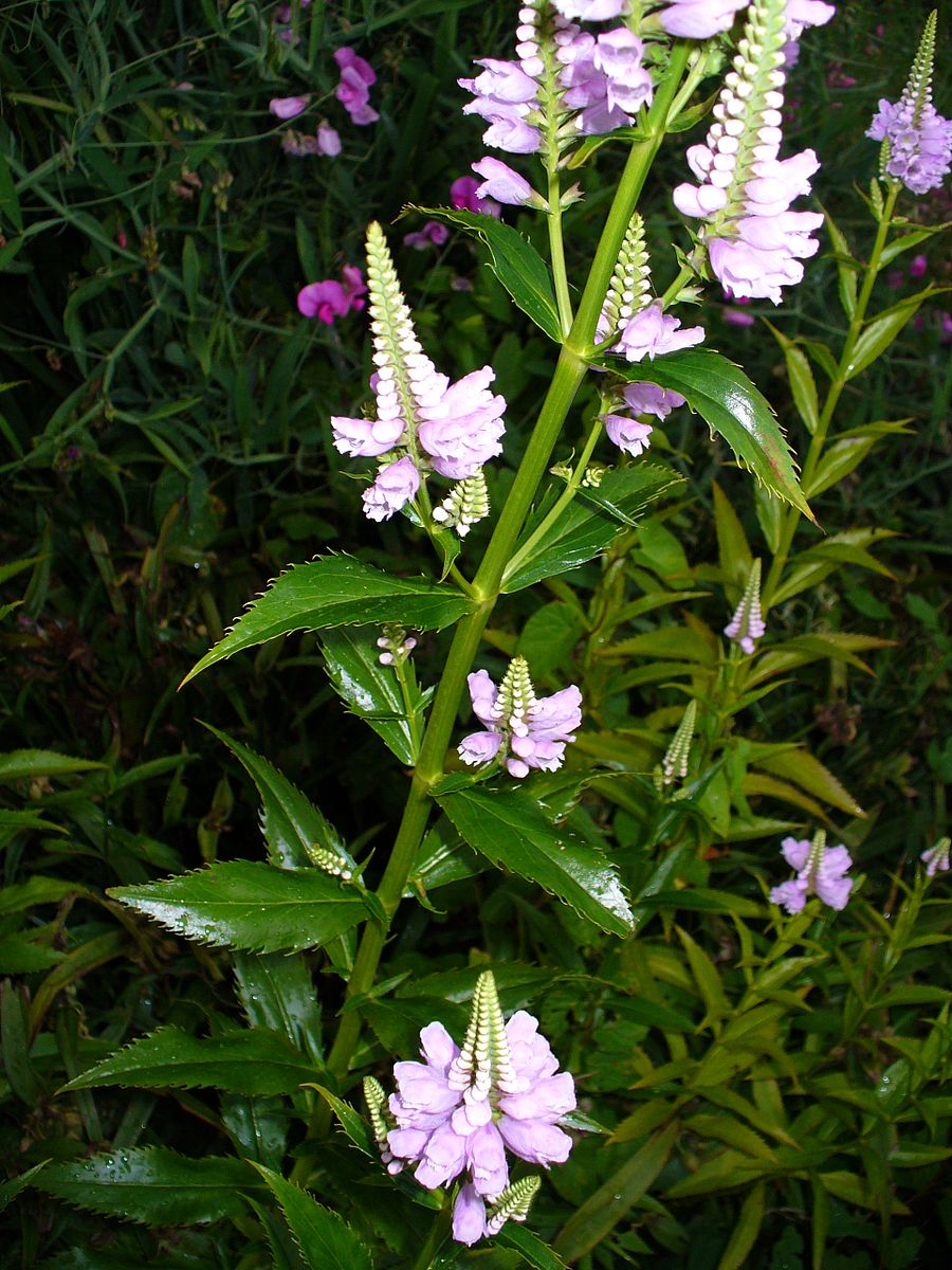 The Finding in the Temple - Common Name: False DragonheadBotanical Name: Physostegia virginianaMary Garden Name: Obedient PlantPhoto: Wikimedia