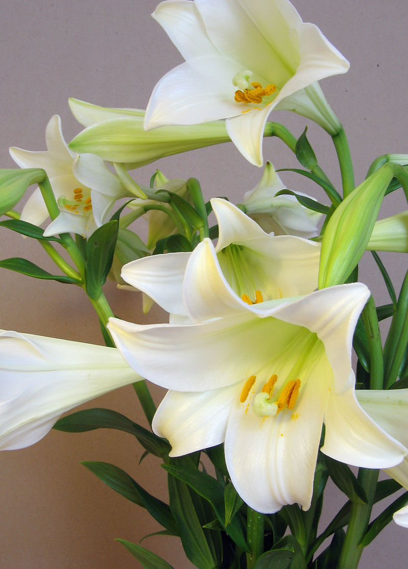 The Resurrection - Common Name: Easter LilyBotanical Name: Lilium longiflorumMary Garden Name: Resurrection LilyThe Easter Lily lies dormant all winter, bursting into bloom during the summer when the weather is warm.Photo: Wikimedia