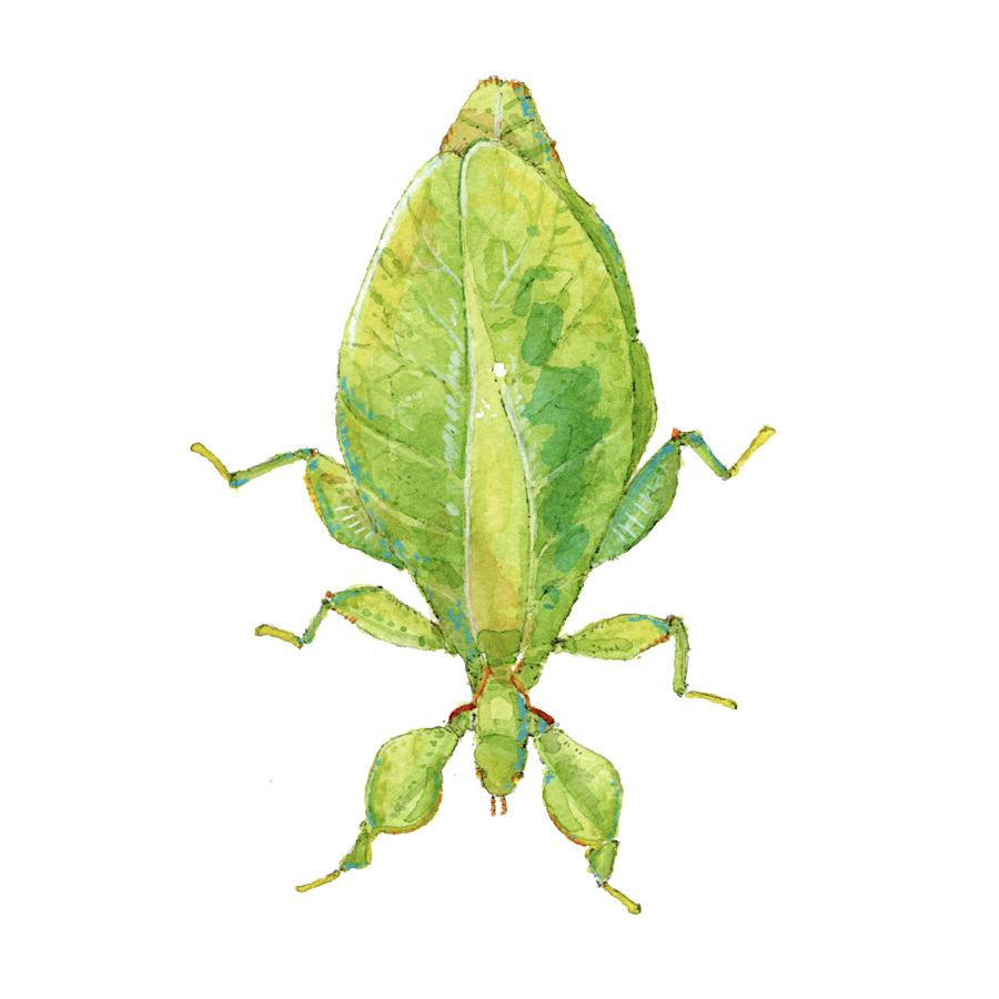 leaf bug.jpg