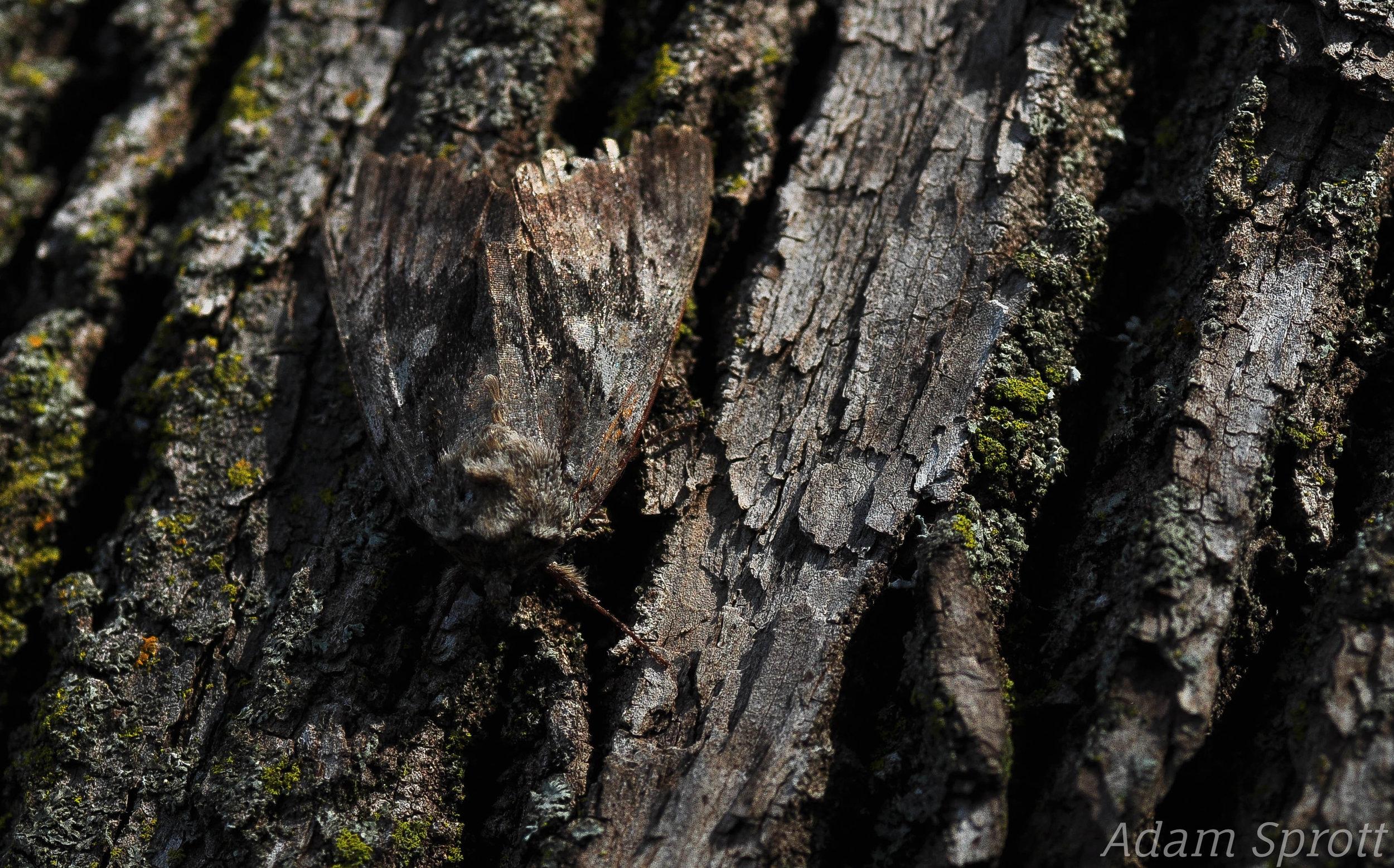 5.6 Lepidoptera 1 - Confused Woodgrain (Morrisonia confusa).jpg