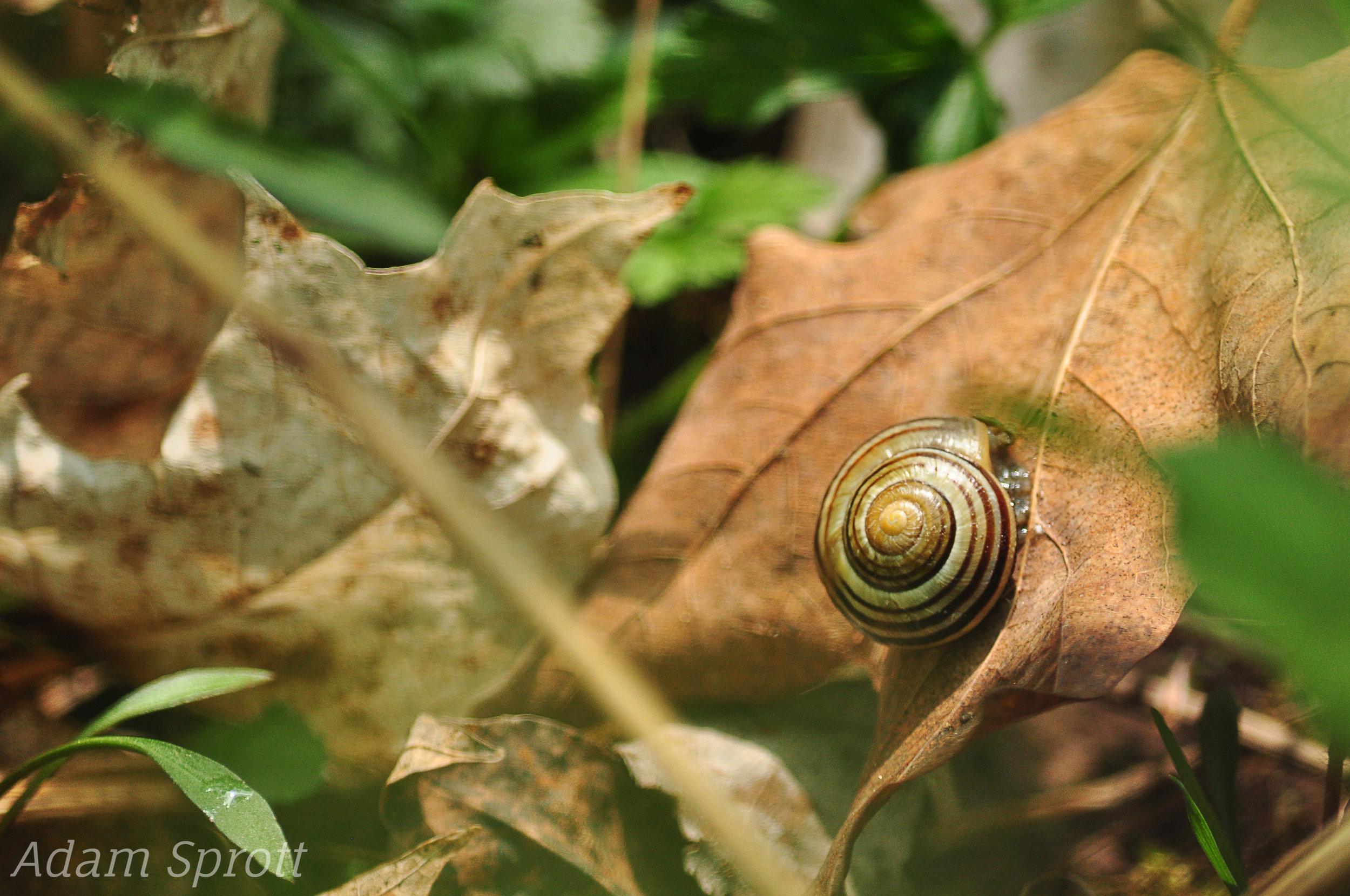 5.6 Mollusca 2 - Grove Snail - Cepaea nemoralis.jpg