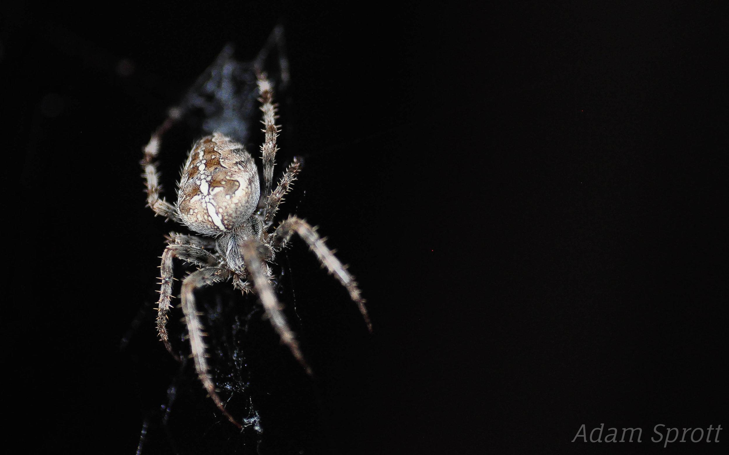 Araneus cavaticus.jpg