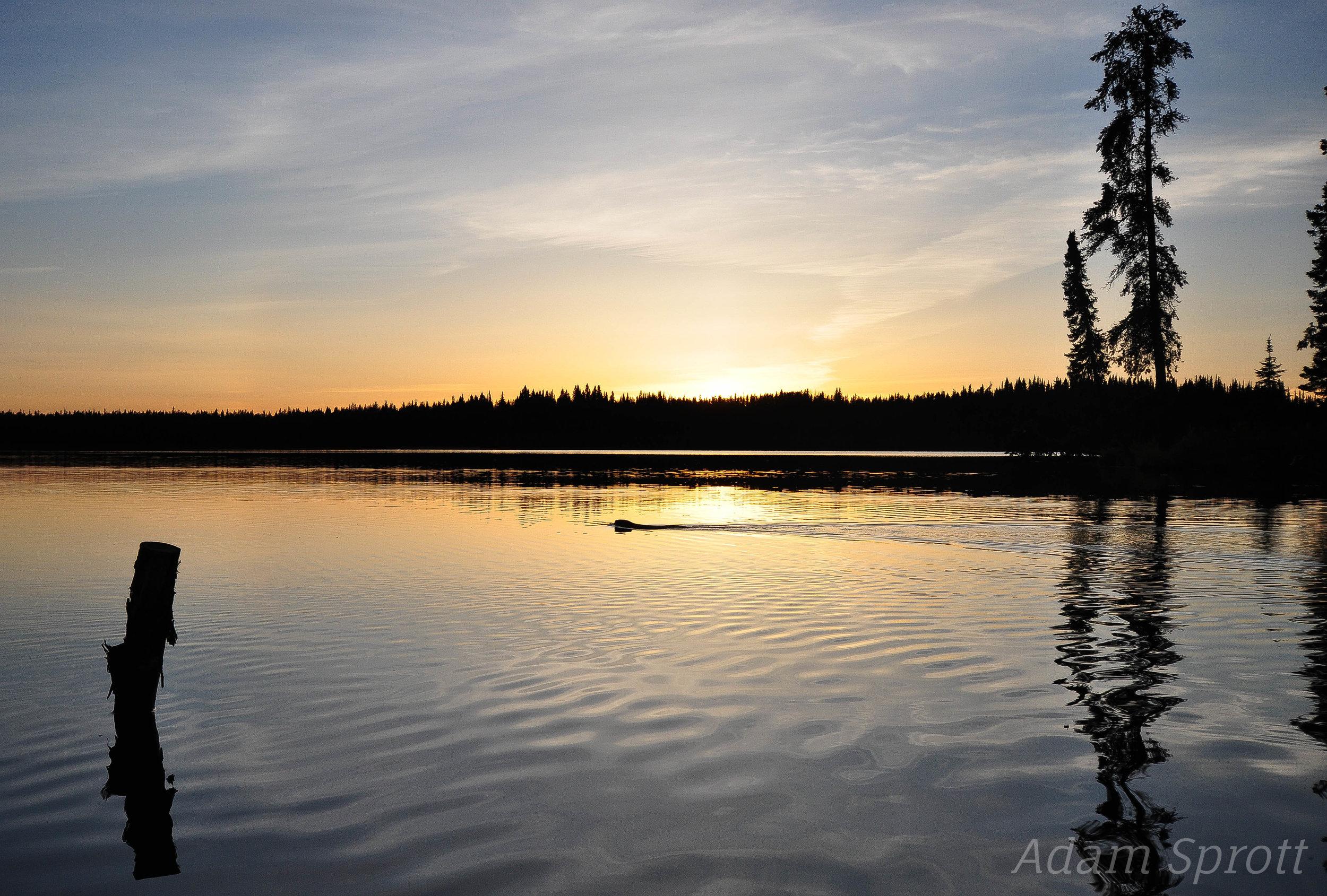 Beaver in Sunset.jpg