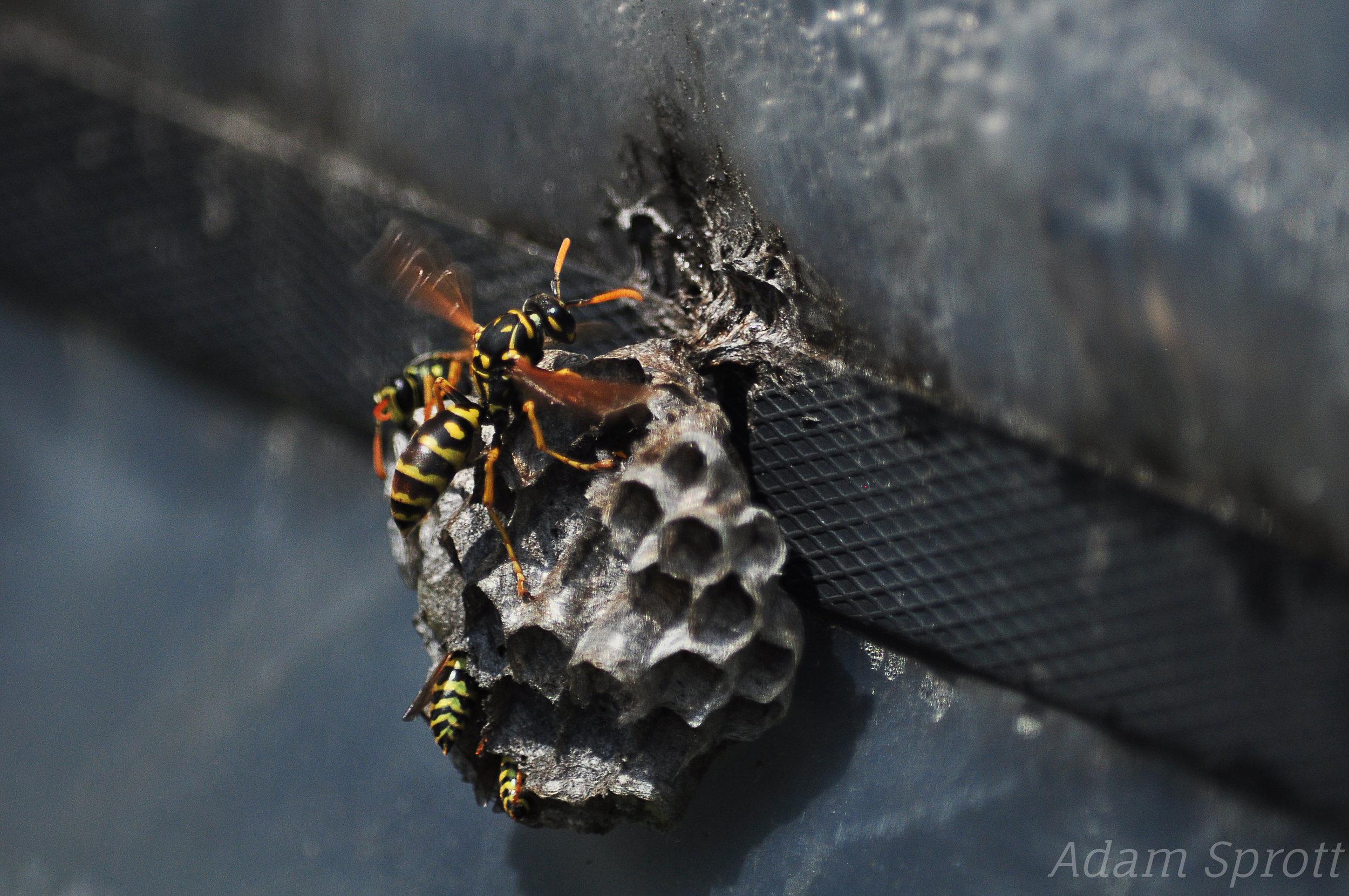 European Paper Wasp - Polistes dominula.jpg