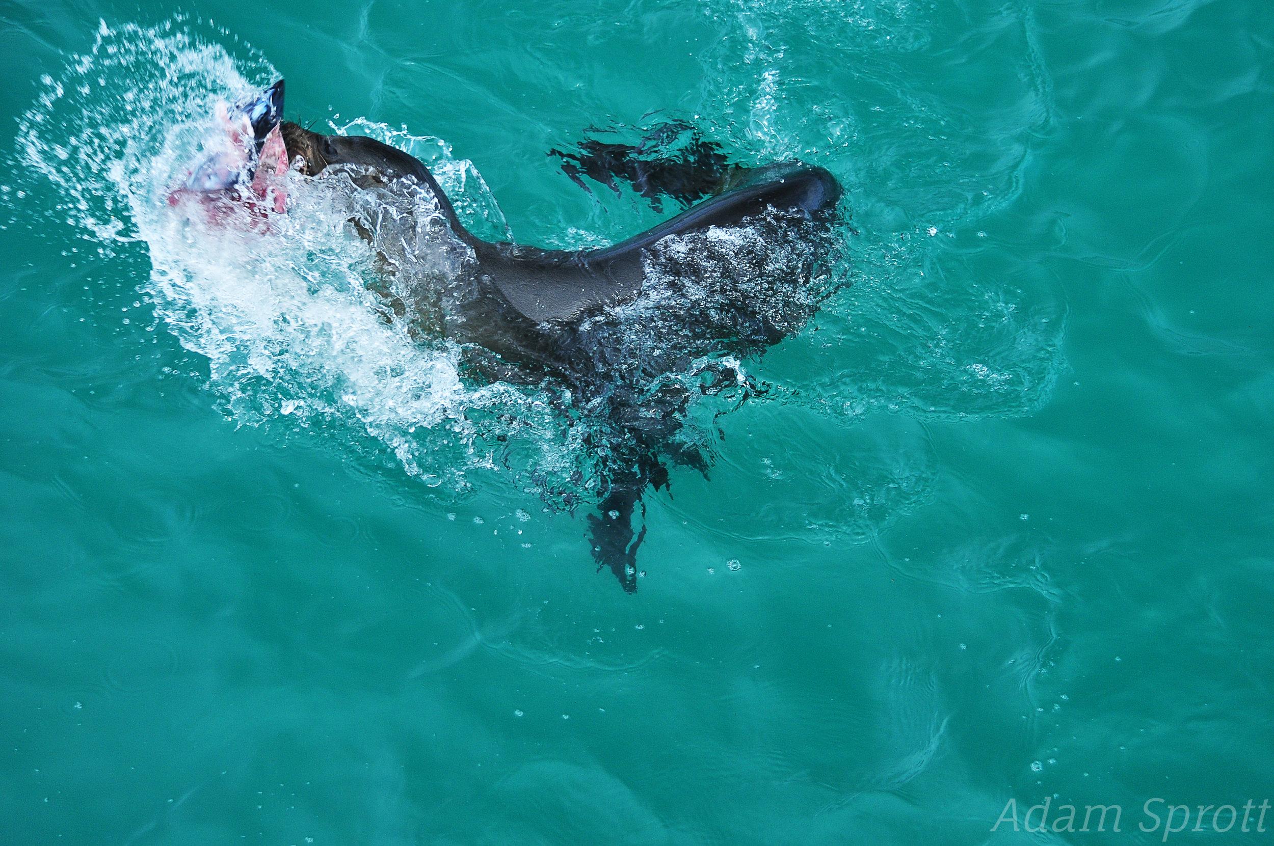 Galapagos Sea lion - Zalophus wollebaeki.jpg