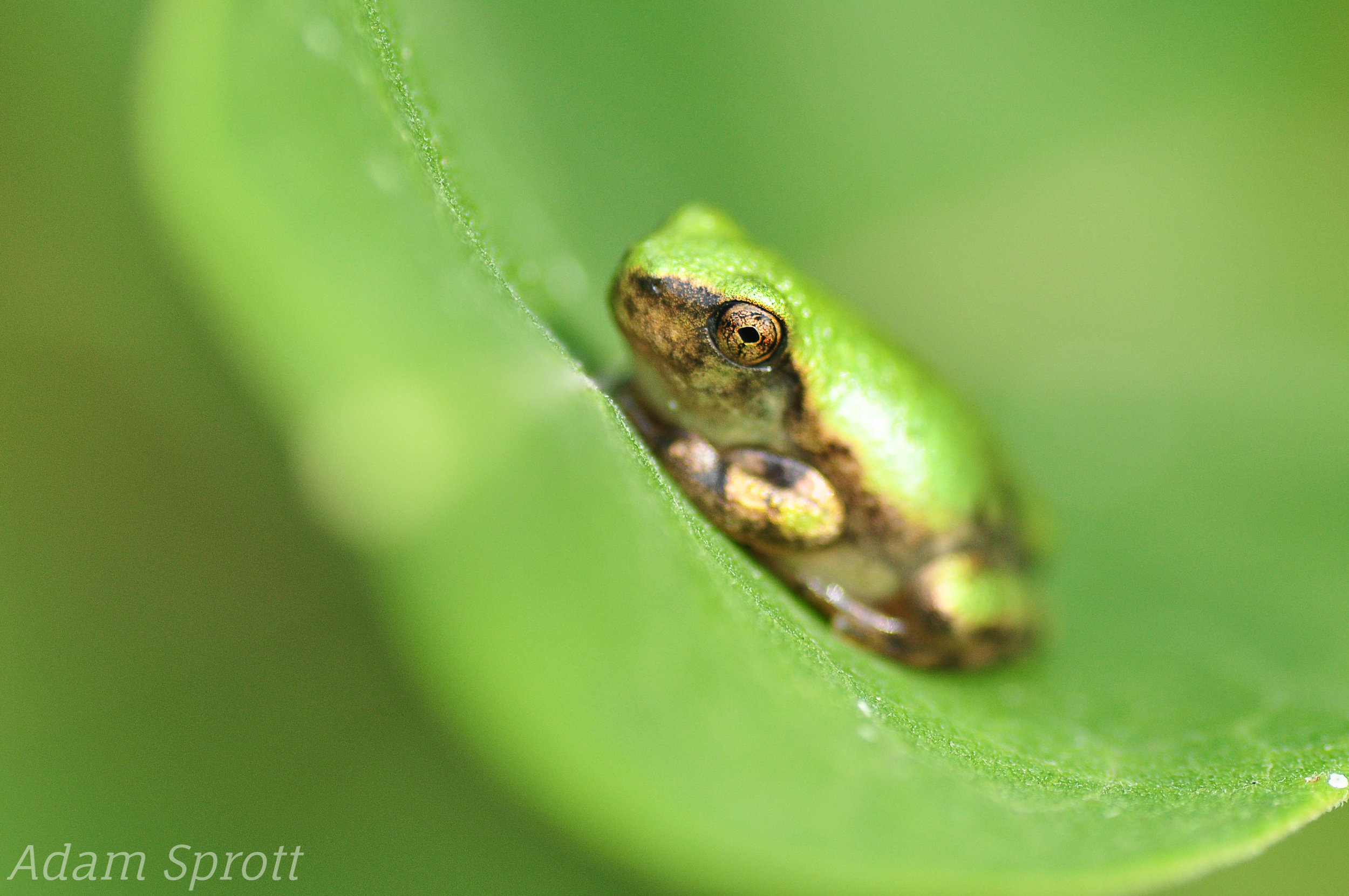 Gray Tree Frog - Hyla versicolor.jpg