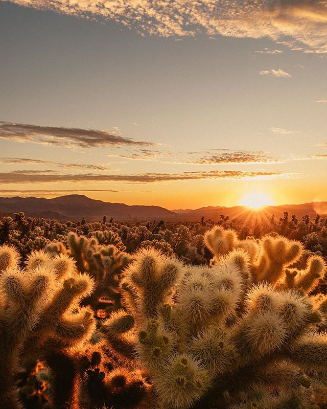 Dripping in gold 💛• Recently in @joshuatreenps with @visitcalifornia.  On this particular morning I rose really early and headed for the Cholla Cactus Garden. I had a vision to capture the first light of the day and the glowing cacti. Standing alone with my prickly friends (please don't touch) I watched the sky burn from pink to gold, as I stood in silence admiring the beauty before me. // Do you experiment with lenses or stick to your original idea? I like to challenge myself and change my lens/ change my perspective. Let me know one is your favourite? ☺️✨ 1. 28mm  2. 70mm 3. 200mm  #VisitCalifornia #roadtriprepublic #joshuatreenationalpark
