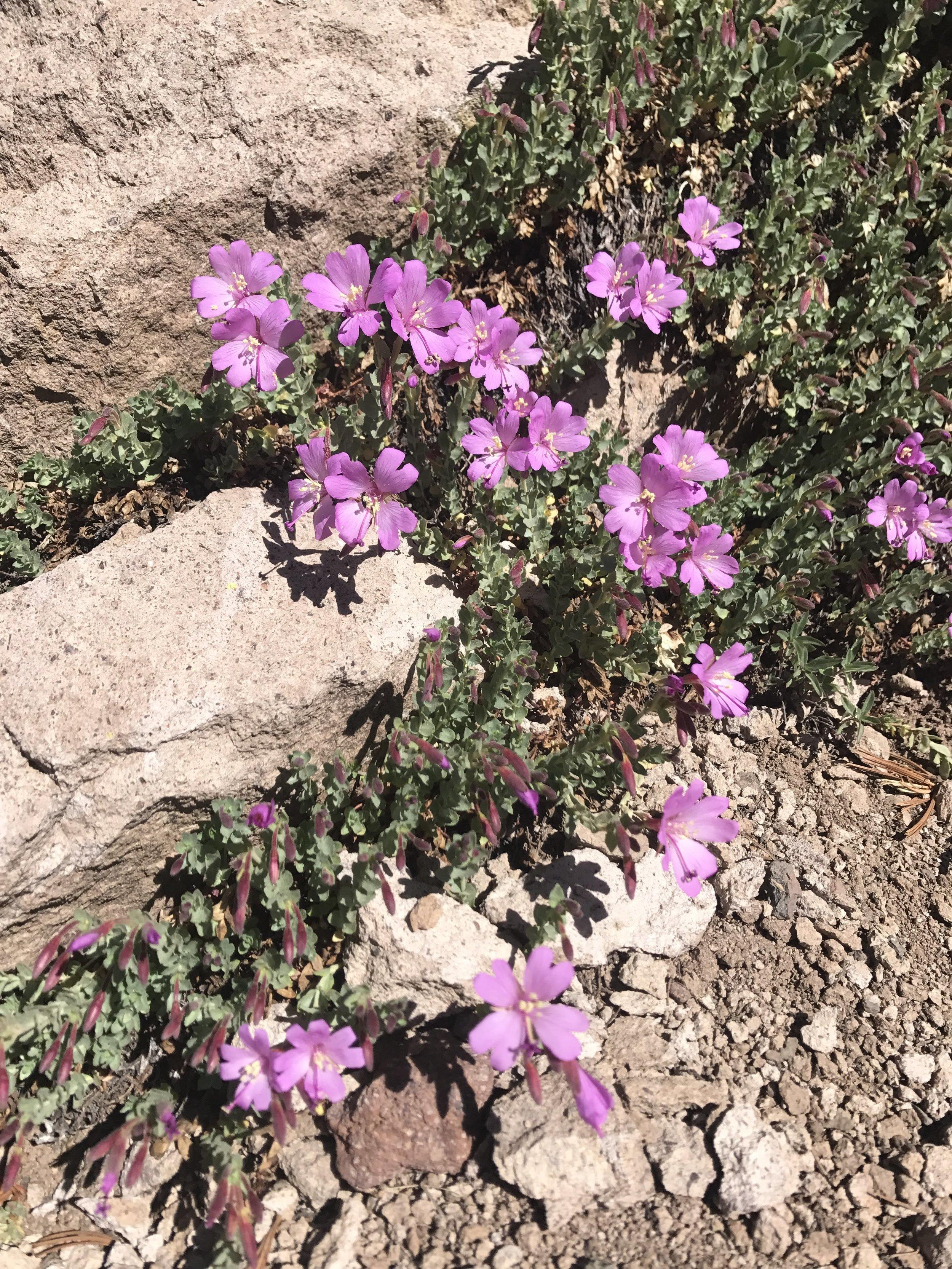 Beautiful pink wildflowers