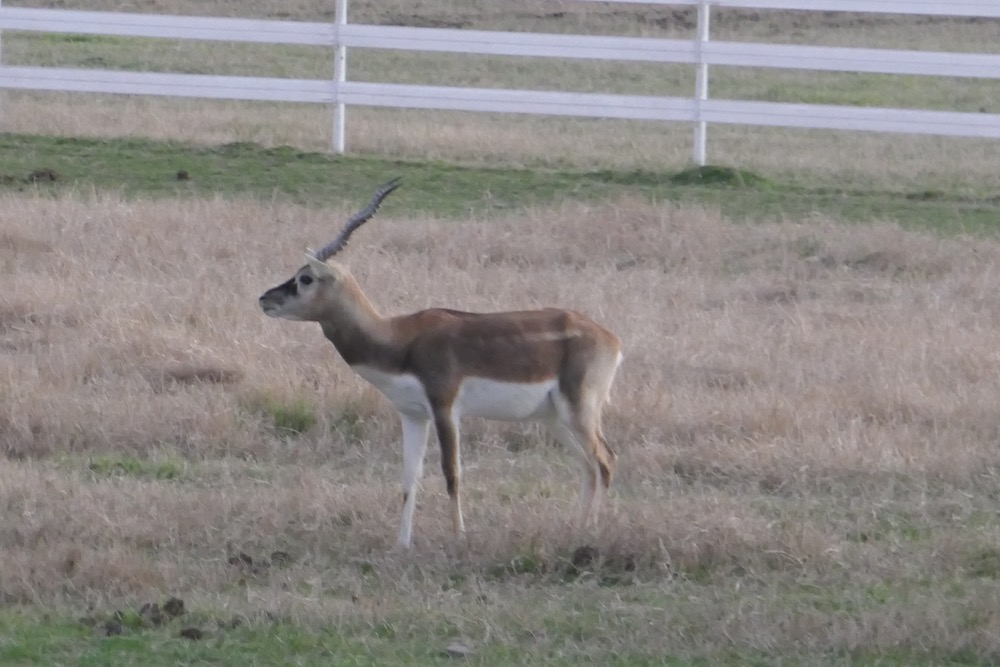 African antelope 2.jpg