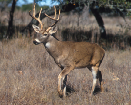 White tail deer-MW.png