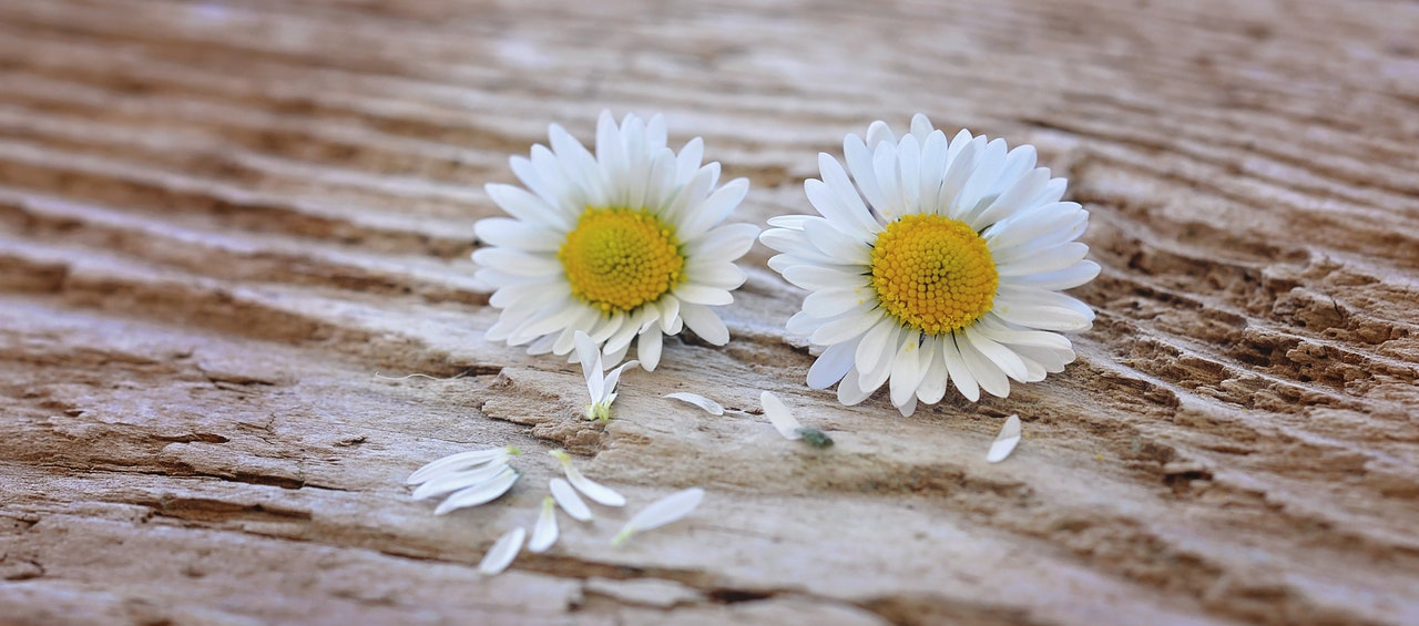 flowers-daisy-white-yellow-wood.jpg