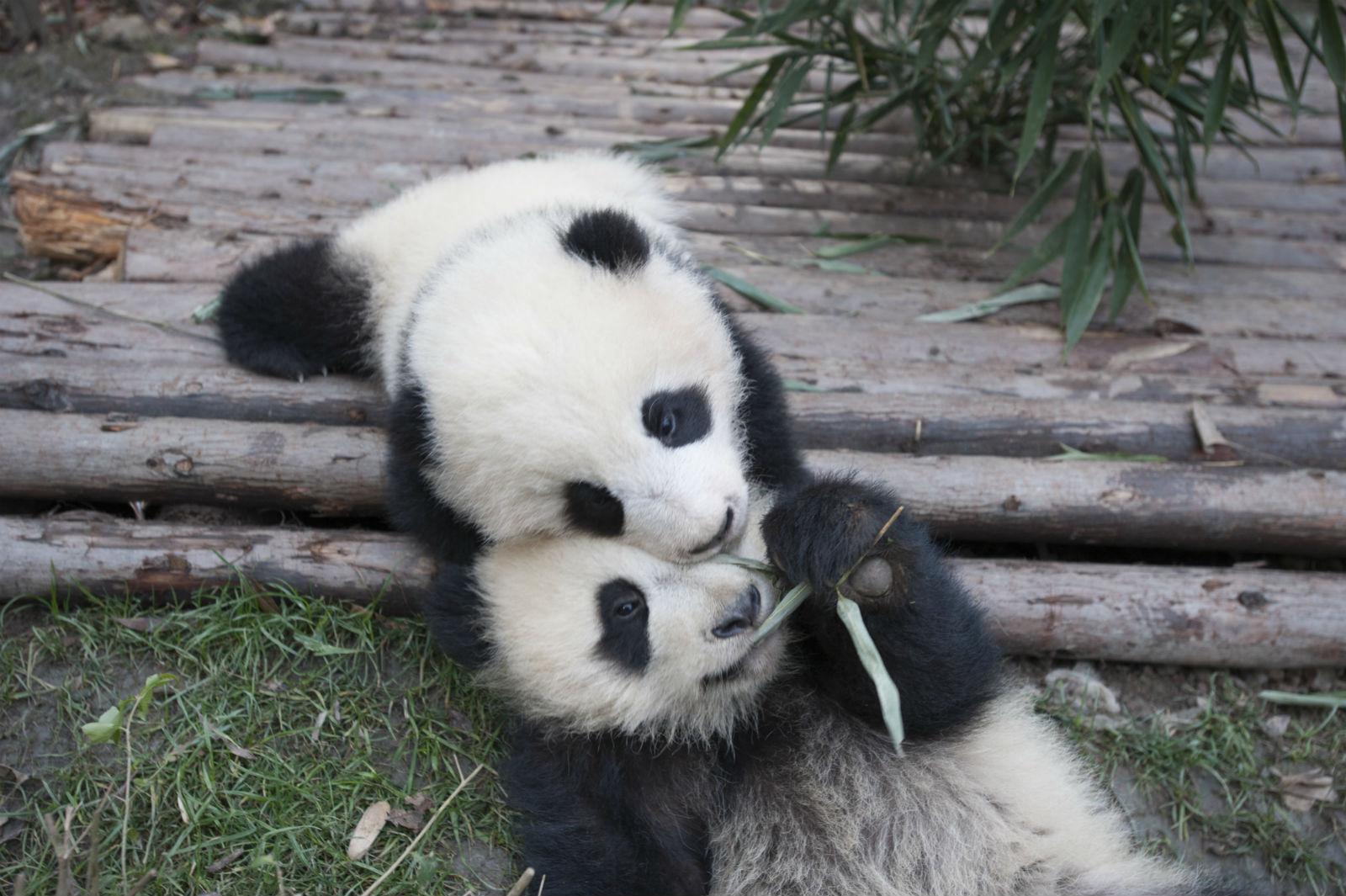 Pandas: more like bears or raccoons?