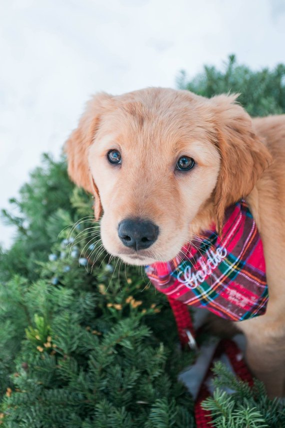 Step six: Don't forget the pooches.  You know that moment where they pull out all their toys and everything is on the floor? Yeah same. Well, that's the perfect opportunity to top off the holiday cheer by throwing some holiday toys in the mix. You can't forget those bandanas too.   //source