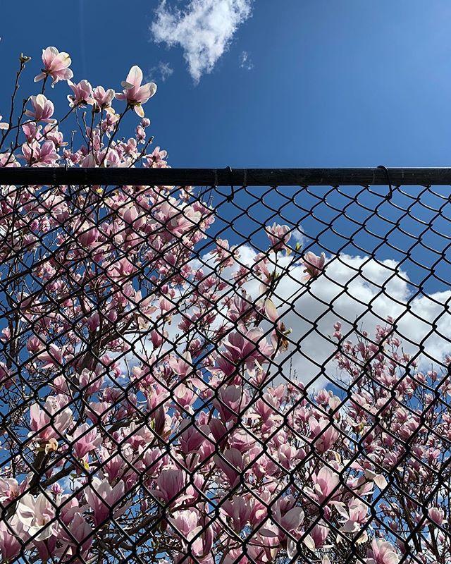 Magnolia season ✨